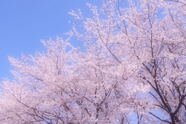 7 things you should know before seeing cherry blossoms