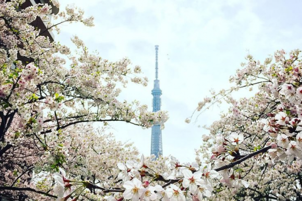 """5 """"cherry blossom viewing"""" spots in Tokyo"""